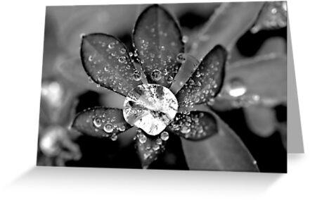 Lupin Diamond by Simon Hackney