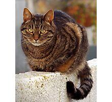 Cornish Tiger Photographic Print