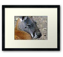 Big Red Kangaroo Framed Print