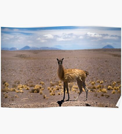 Young Guanaco Poster