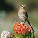 Sugarbird by Macky