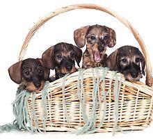 Four dachshund puppy in a basket by utekhina