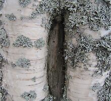 Mysterious holes in the birch by PVagberg