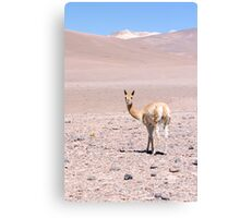 Vicuna high in the altiplano Canvas Print