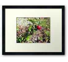 Lingonberry in the forest Framed Print