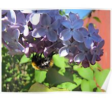 Bumblebee up and down on lilac Poster