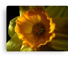 Daffodil Light Canvas Print