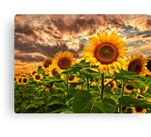 Sunflowers At Sunset Canvas Print