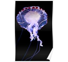 Purple Striped Jellyfish (Chrysaora colorata) Poster