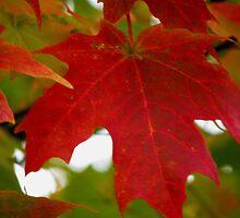 Red Maple Leaf by Linda Miller Gesualdo