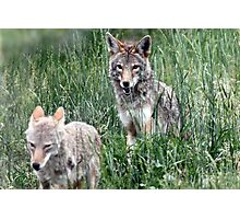 Two Coyotes Playing Photographic Print