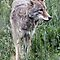 Coyote Portrait in Tall Grass by Wolf Read