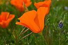 Antelope Valley California Poppy by LudaNayvelt