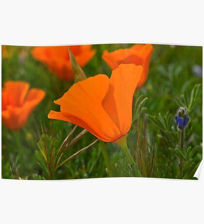 Antelope Valley California Poppy Poster