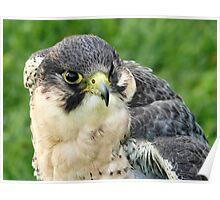 Peregrine Falcon 2 Poster