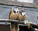Laughingthrush pair by CiaoBella