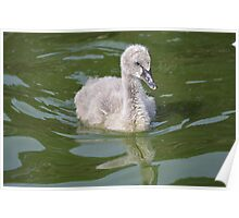 baby swan  Poster