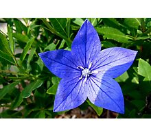 Blue Star-Shaped Flower Photographic Print