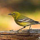 Pine Warbler by Wayne Wood