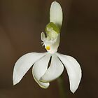 White Fingers Orchid - Caladenia catenata by Andrew Trevor-Jones