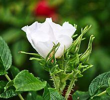 White rose hip by Arve Bettum