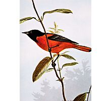 Baltimore Oriole Vintage Art Photographic Print