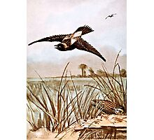 Bobolink Bird Vintage Illustration Photographic Print