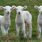 Triplet lambs by woolleyfir