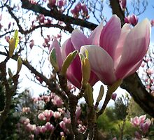 Impressive Magnolia   by hootonles