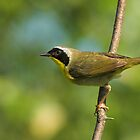 Common Yellowthroat by Wayne Wood