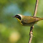 Common Yellowthroat by Wayne Wood
