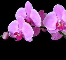 Orchid Phalaenopsis by Simon Hackney