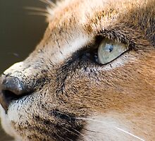 Caracal by Helen Tisbury