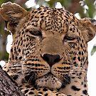 Tumbela, Male Leopard by Michael  Moss