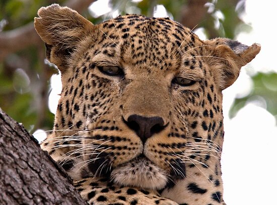 Tumbela, Male Leopard by Michael  Moss