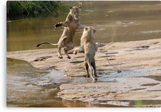 Lions Playing In Water by Michael  Moss