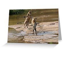 Lions Playing In Water Greeting Card