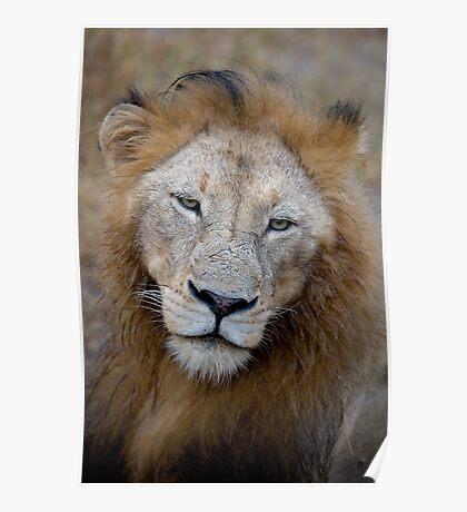 Manyaleti Male Lion Poster