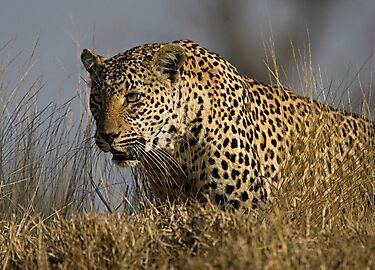 Female Leopard - Makwela by Michael  Moss