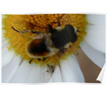 Bumble Bee Poster