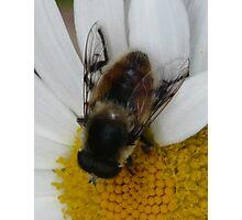 Bumble Bee 2 Photographic Print