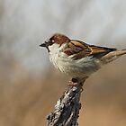 House Sparrow by Wayne Wood