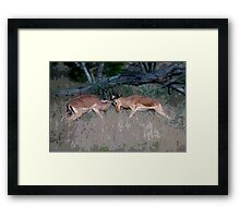 Impala Rutting  Framed Print