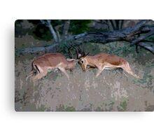 Impala Rutting  Canvas Print