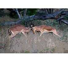 Impala Rutting  Photographic Print