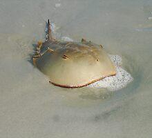 Horseshoe Crab by stumbelina