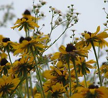 black eye susan by mgray