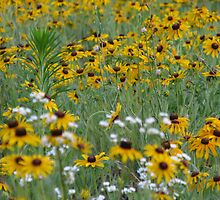 field of black eye susans by mgray