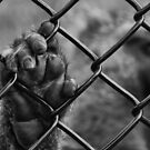 caged ape by MikeJagendorf