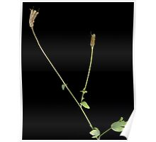 Columbine seed pods Poster